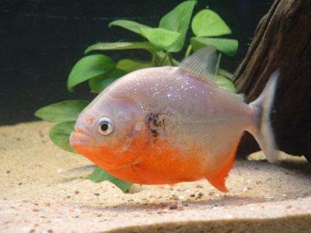 """Картинка 30 из презентации  """"Костно-хрящевые рыбы """" к урокам биологии на тему  """"Рыбы """""""